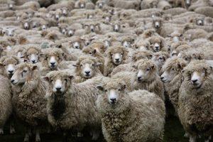 Schafherde in Neuseeland © Paul Stock - Fotolia.com